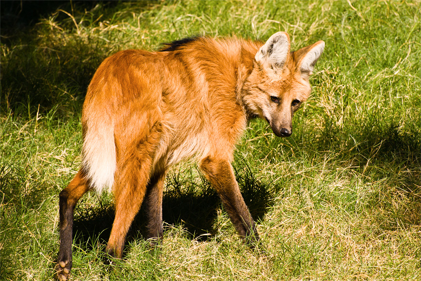 Maned Wolf Adaptations Well Actually a Maned Wolf