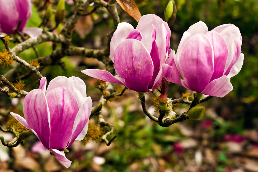 About Tulip Trees Tips On Growing And Caring For A Tulip Tree